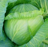 Cabbage Glory of Enkhuizen - Appx 100 seeds